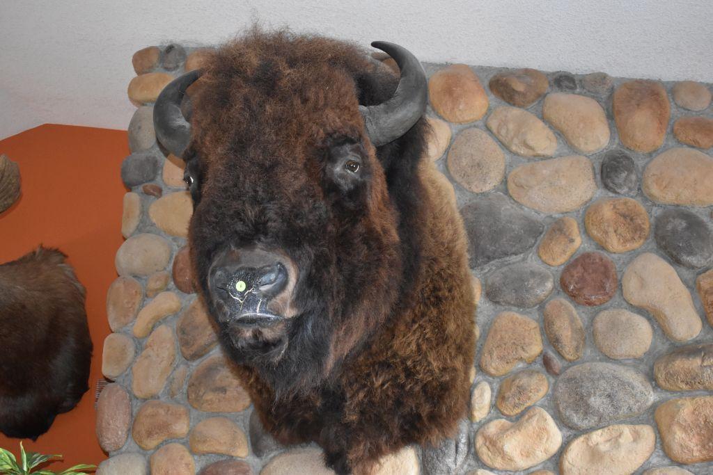 buffalo-shoulder-mount