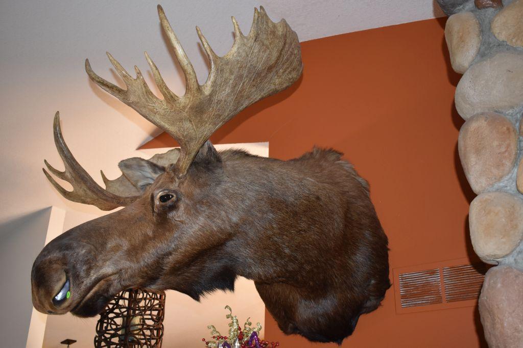 bull-moose-shoulder-mount