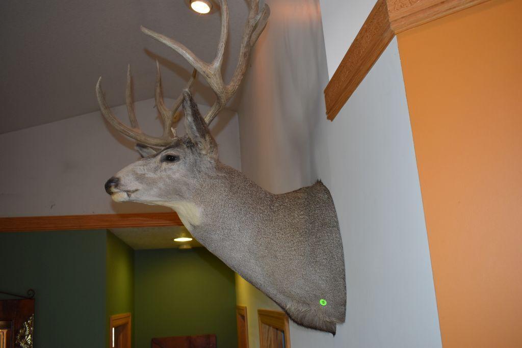 11-point-mule-deer-shoulder-mount