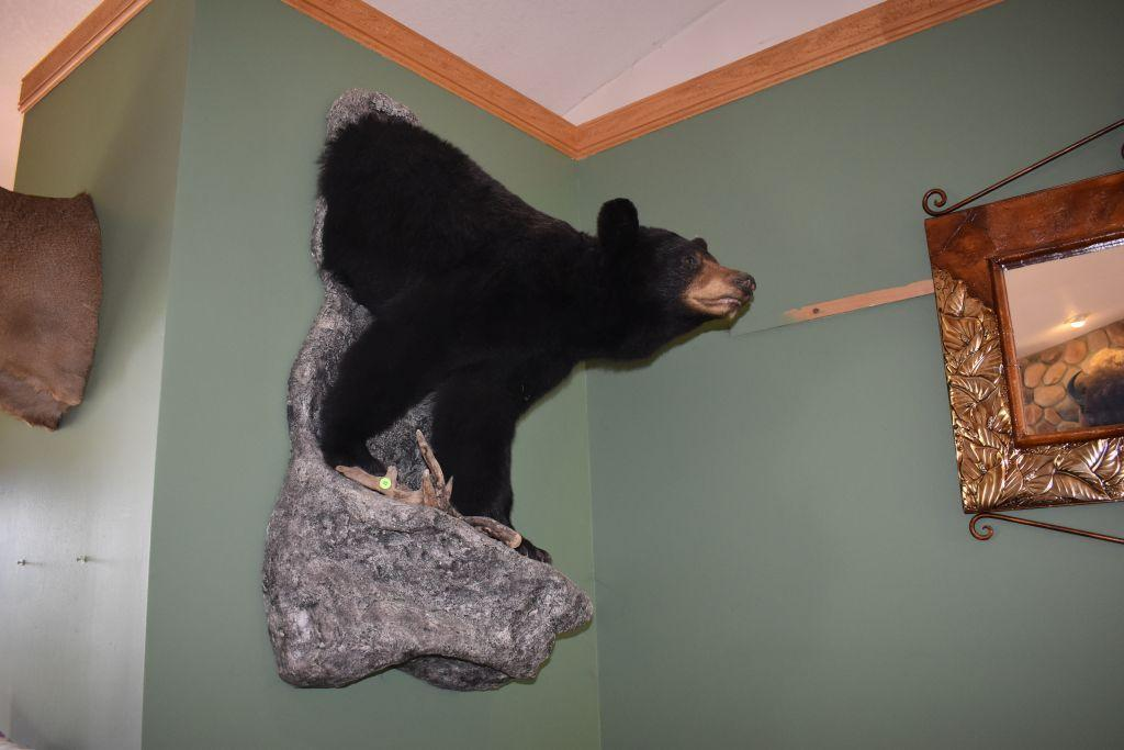 half-body-black-bear-mount-with-silver-gray-hair-on-back